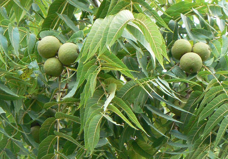 Black Walnuts on Tree