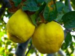 quinces on tree
