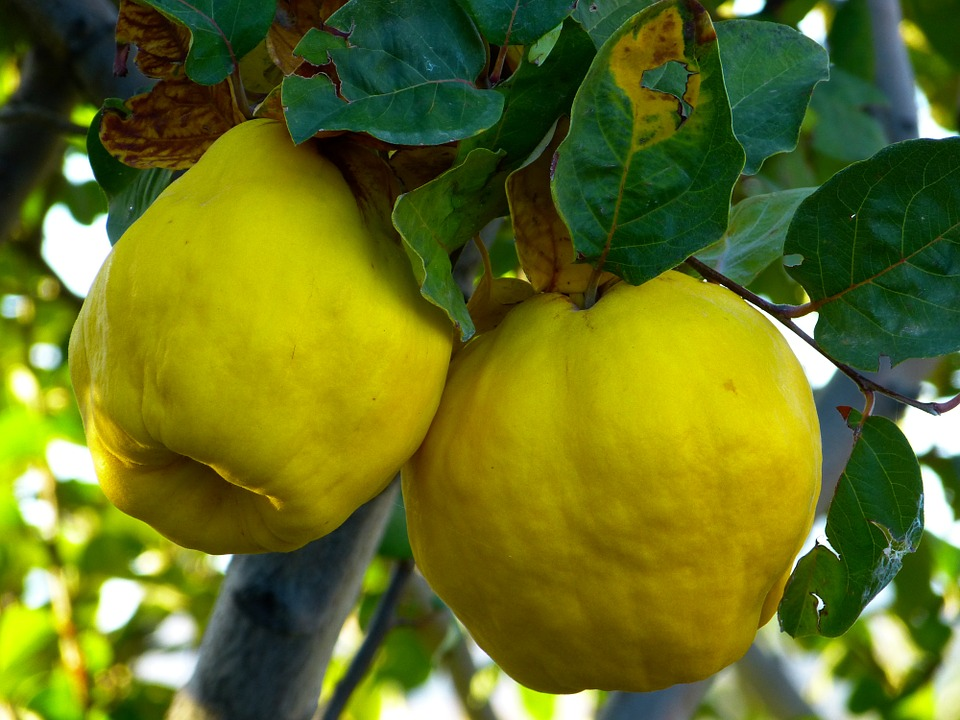 quinces on tree