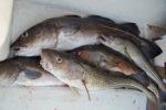 fresh cod fish